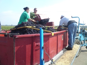 Burgundy Harvest